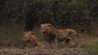 An accurate count of Asiatic lions could help design better conservation practices
