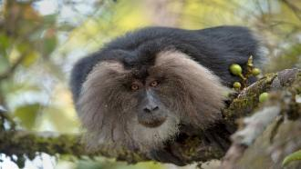 Too close for comfort: Proximity to humans is significantly affecting the behaviours of lion-tailed macaques