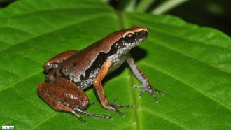 Meet Micryletta aishani, the new frog from the northeast that plays hide-and-seek with monsoon