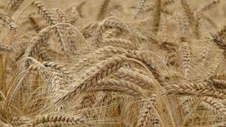 ICAR scientists develop the world's first web-based tool to identify wheat varieties