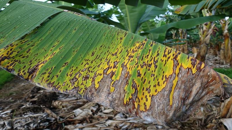 Powered by Artificial Intelligence, smartphones can now ward off banana pests