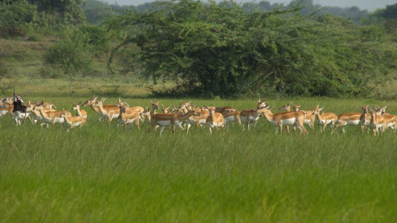 How did the iconic blackbuck evolve? IISc scientists find new insights