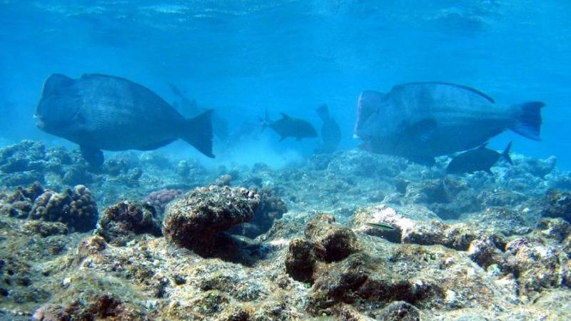 Researchers study the distribution of the Bumphead parrotfish in the corals of Andamans