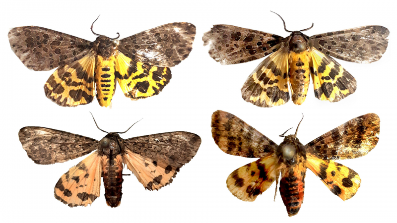 Meet the new tiger moths discovered from the Western Ghats of Maharashtra