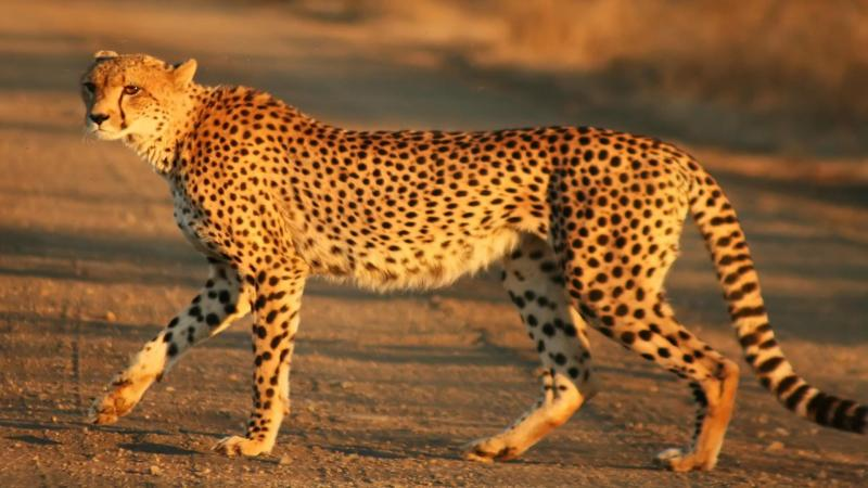 New insights on the evolution of cheetahs may help decide the best move on reintroduction