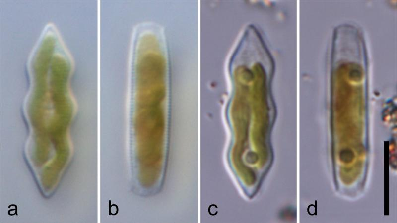 Looking through 'living glass', researchers discover a new genus of diatoms from India and China