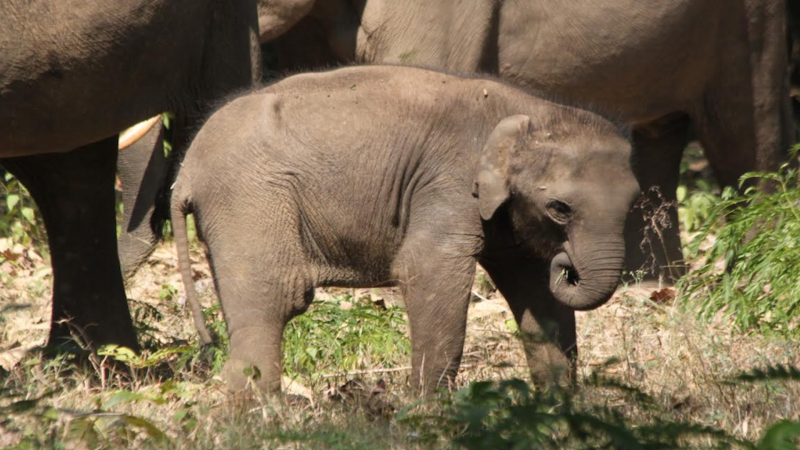 Right or Left: Elephant calves pick their 'trunk handedness' early on in life
