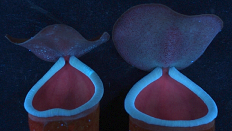 Photo : Dr. Sabulal Baby. Blue fluorescence emissions from Nepenthes khasiana pitcher peristomes in ultraviolet (UV 366 nm)