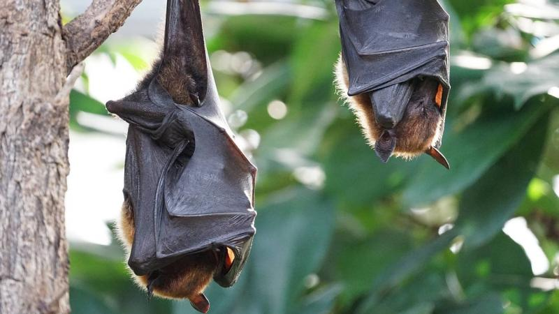 Whodunnit? A watchlist of bats that can spread Nipah in India