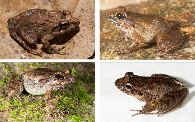 Unravelling cryptic frogs of Western Ghats