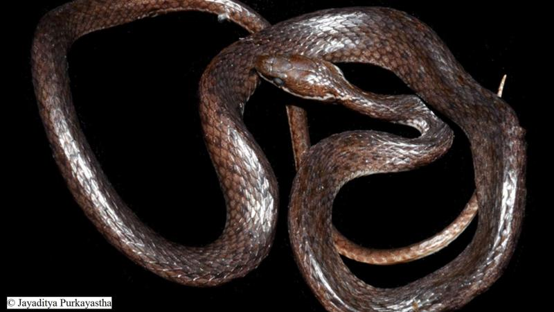 New species of non-venomous keelback snake found in Arunachal Pradesh