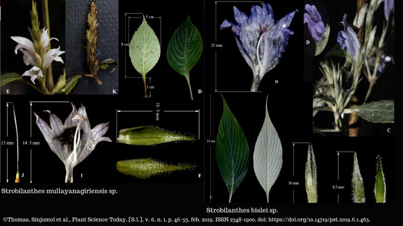 Two new species of Strobilanthes discovered in the Western Ghats