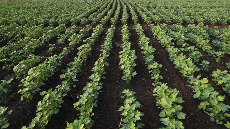 Study explores how farmers spend on pesticides in cotton farms based on land size, irrigation and tenancy.