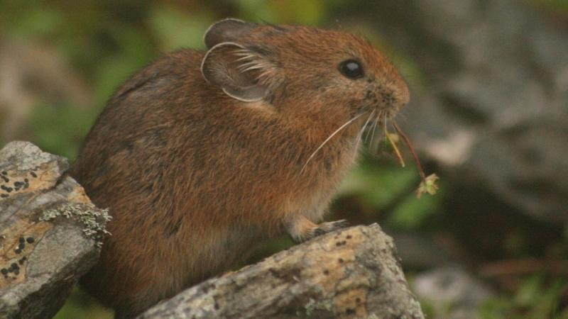 Photo: Royle's pika by Sabuj Bhattacharyya