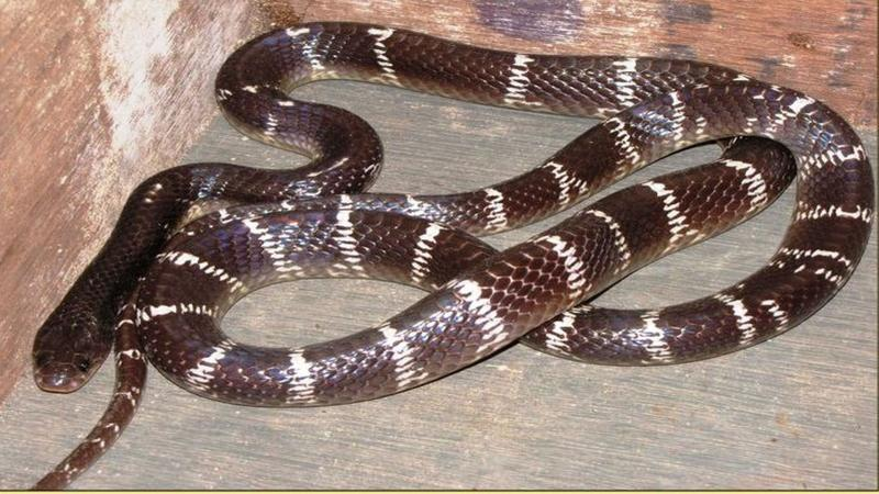 Researchers design a synthetic antivenom to treat snake bites from the Indian krait