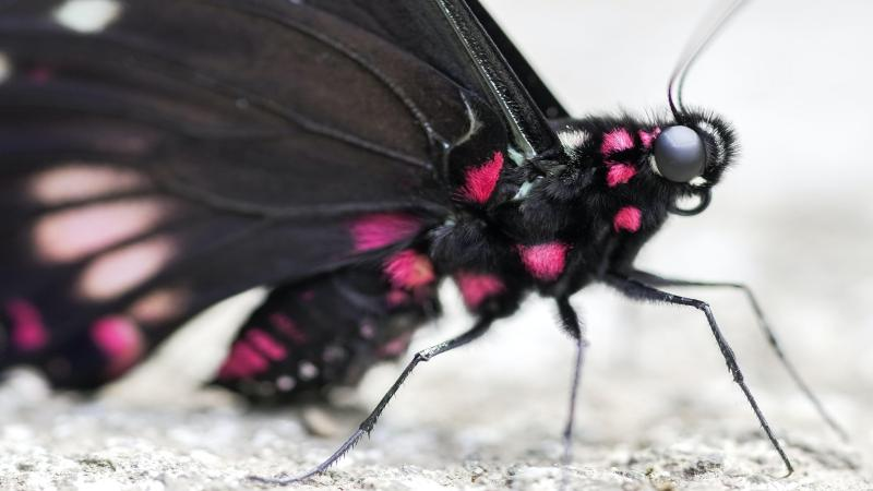 Butterflies and moths look at the world differently: Blame it on evolution