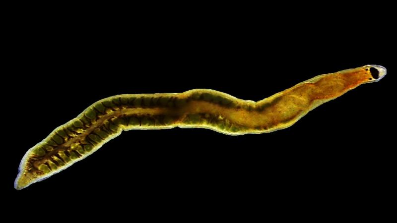 Researchers discover a new species of ribbon worm from Chennai's Kovalam beach