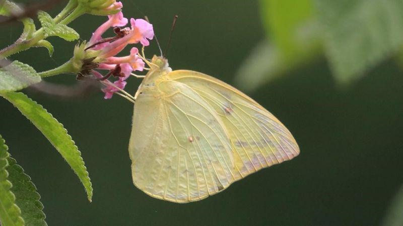 To move or not to move: It's a million-dollar question for the butterflies