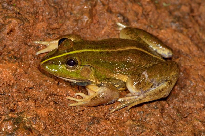 Karaavali Skittering Frog, Photo: KS Seshadri