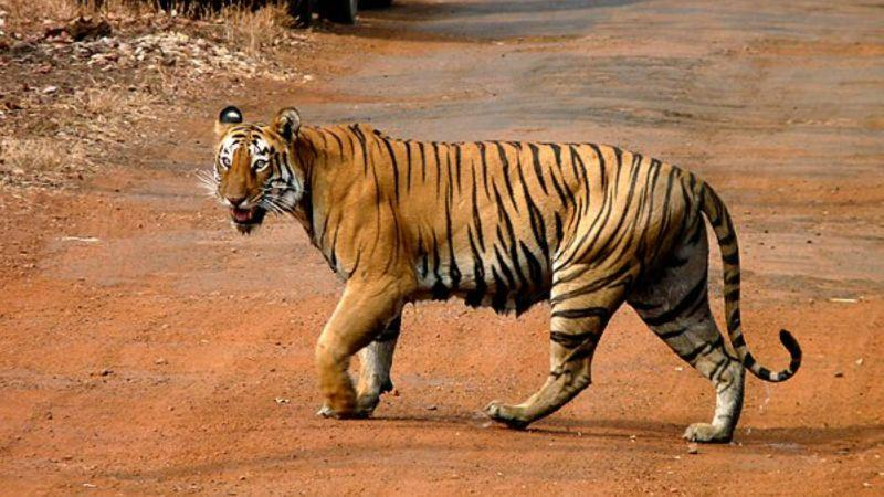 Roads pose a roadblock to tiger conservation in South and ...