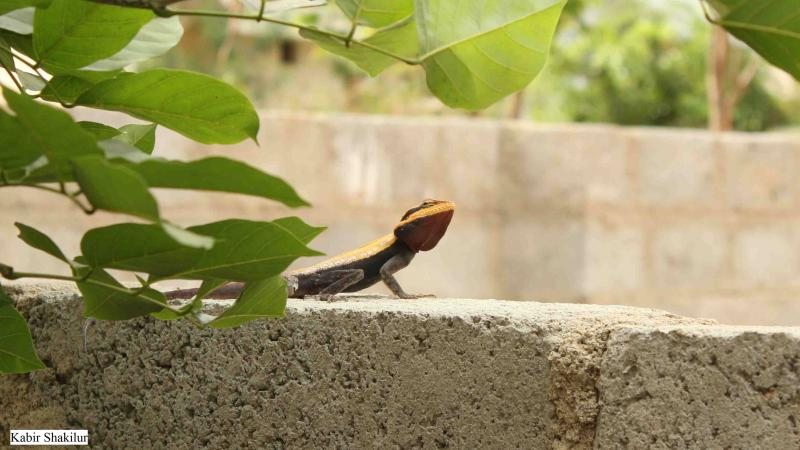 The street smartness of urban lizards
