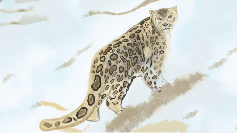 Snow leopards on rugged terrains of conservation