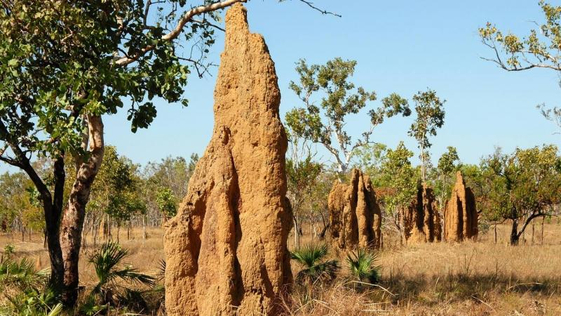 Here's how rhiniid flies in the Western Ghats worm their way into termite mounds
