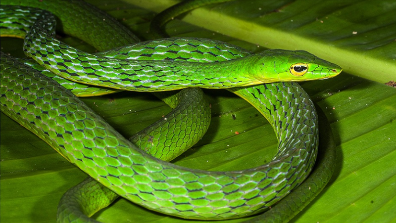 Researchers discover a new species of vine snake from the Western Ghats that dates back 26 million years