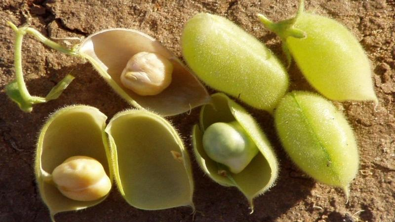 Tapping genes to make chickpeas resistant to droughts