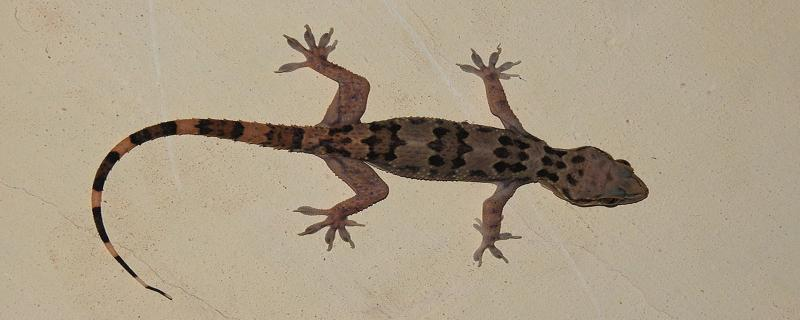 Hello, Gecko! Where do you come from?