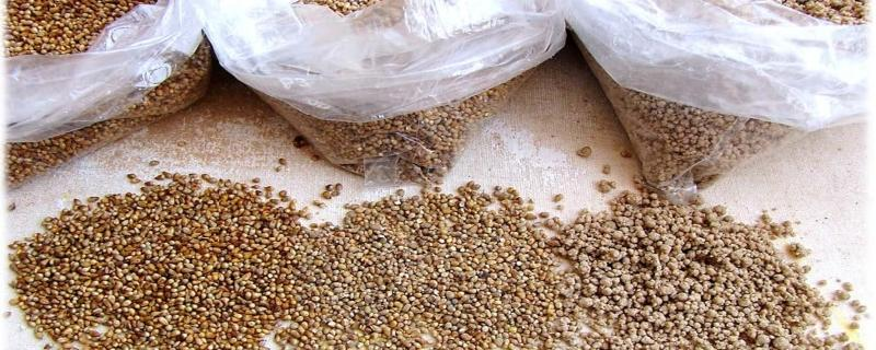 Small millets can help fight food insecurity during pandemics