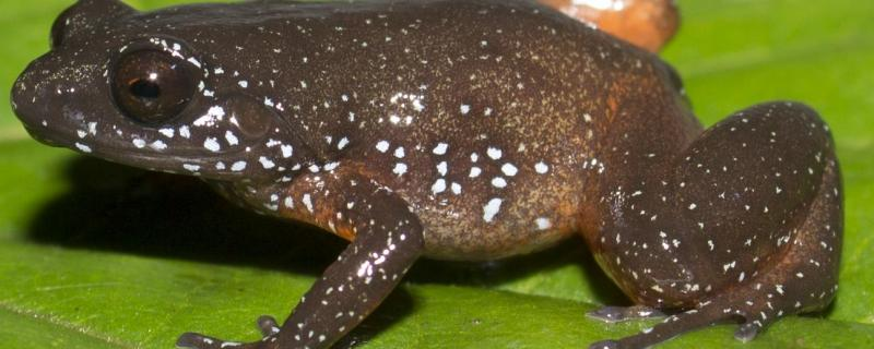 IISc researchers describe a new starry frog from the Western Ghats