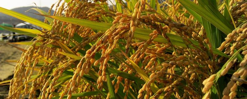 Researchers identify key genes that help rice adapt to water scarcity
