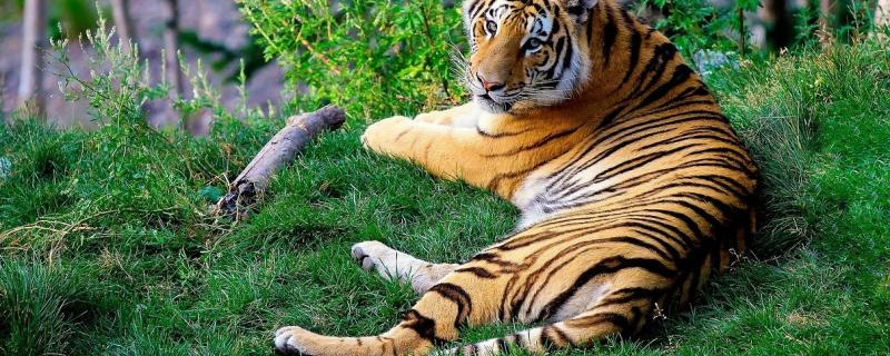 Indian tigers more stressed than their Russian cousins, shows study