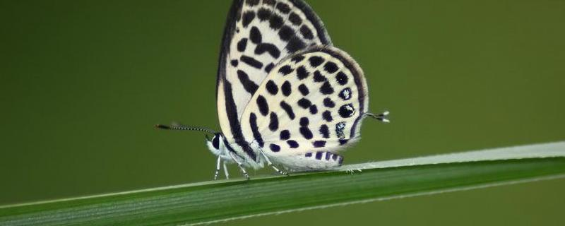 Pierrot butterflies take scientists from museum collections to the outdoors and back!