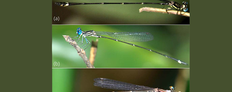 Researchers discover three new species of damselflies in the Western Ghats