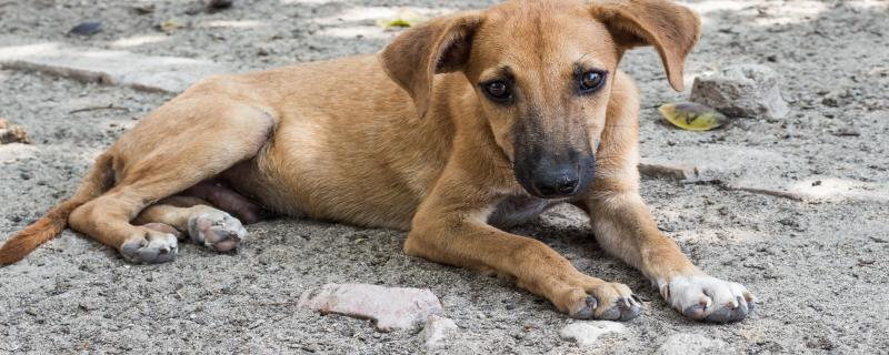 No silver bullet: Animal Birth Control for India's dogs is ridden with challenges