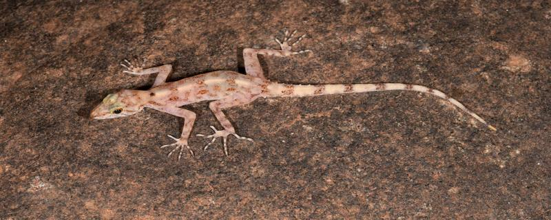 Researchers find three new species of geckos lurking under granite rocks in the Mysore Plateau