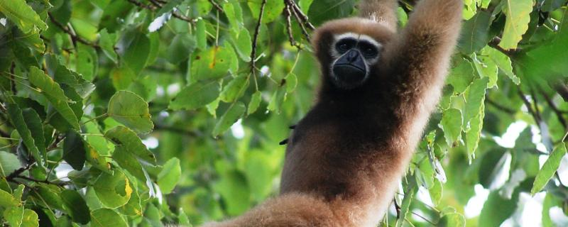 Ape fossil from Ramnagar could fill the gaps in understanding the evolution of gibbons
