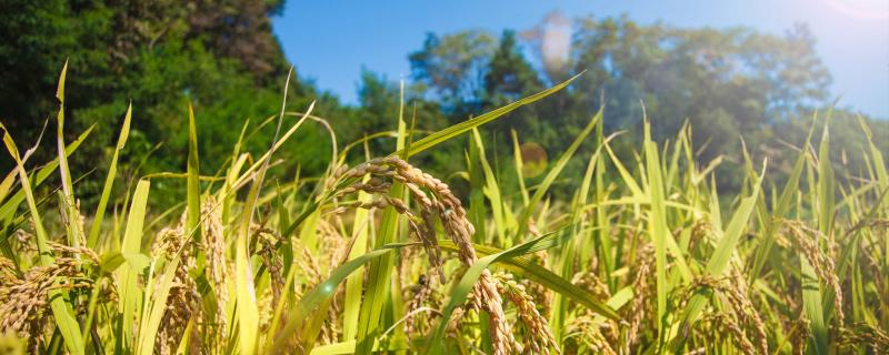 Tiny RNA lost during domestication created robust rice varieties, shows study.