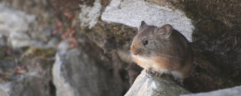 Seeing climate change through the eyes of the Pikas