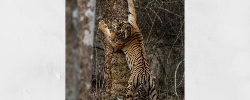 Not just numbers, DNA holds the key in tiger conservation