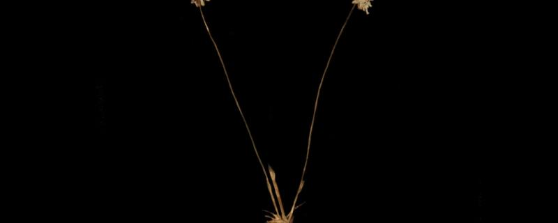 Researchers discover a new species of pipewort from the Western Ghats, name it after Karnataka's coast