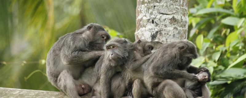 In a Nicobar long-tailed macaque troop, does rank determine who grooms whom?