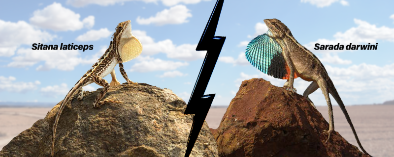 Friend or foe? Study shows fan-throated lizards could be evolving novel behaviours to avoid a brawl