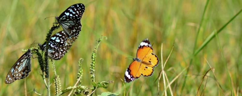 Butterflies found in Gubbi