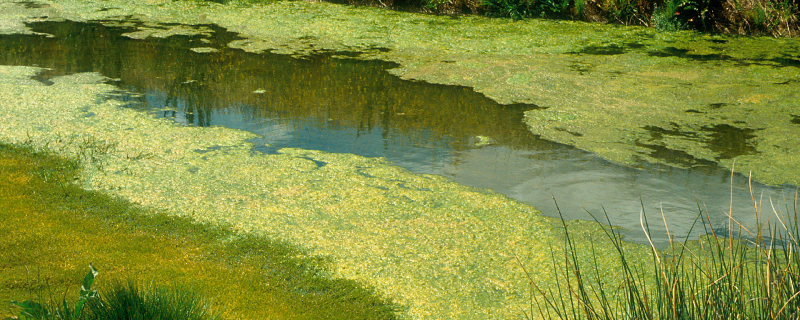 Photo : Blue Green Algae by CSIRO