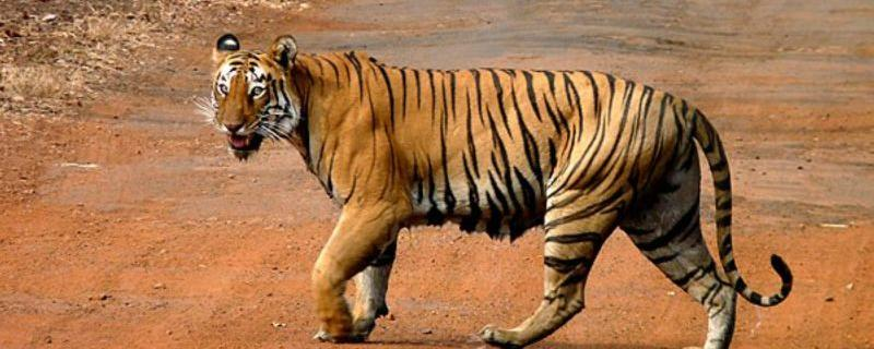 A tiger crossing a road in Tadoba National Park, India [Image Credits: Grassjewel / CC BY-SA]