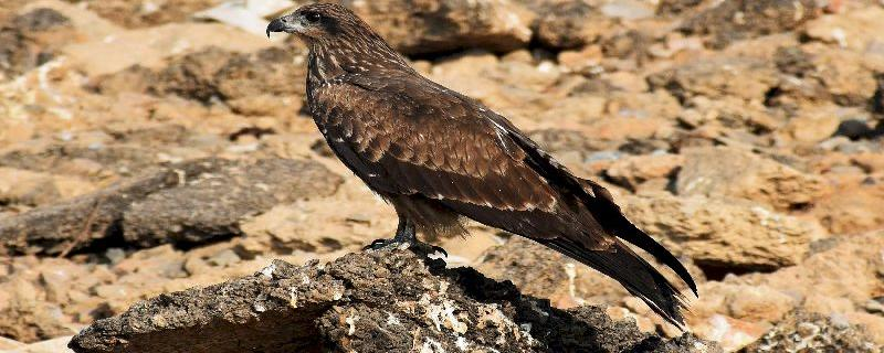 Every year, these raptors hovering Delhi's landfills migrate across the Himalayas to Central Asia