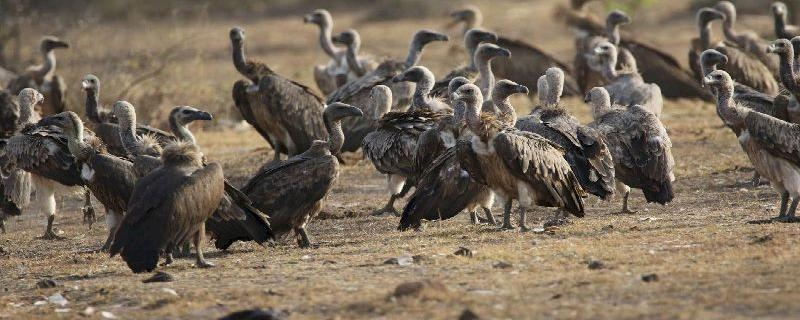 Despite ban, vulture-killing drug diclofenac widely sold for veterinary use in India